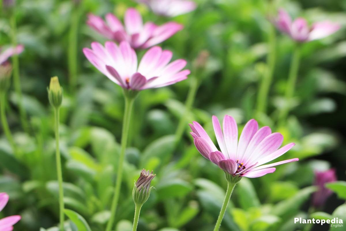 Daisybush african daisy osteospermum how to grow and care african daisy for the garden patch the balcony or terrace african daisy for the garden patch the balcony or terrace izmirmasajfo