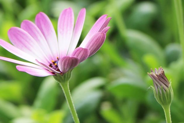 Osteospermum, Daisybush with purple flower color