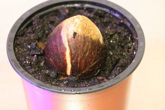 Avocado core after a few weeks