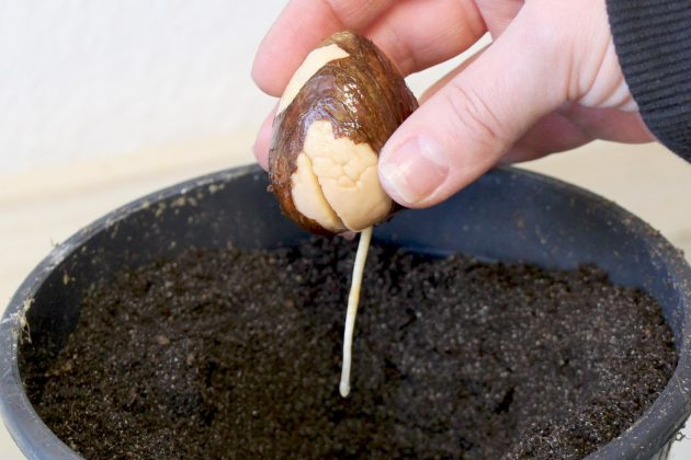 Plant the avocado core into substrate