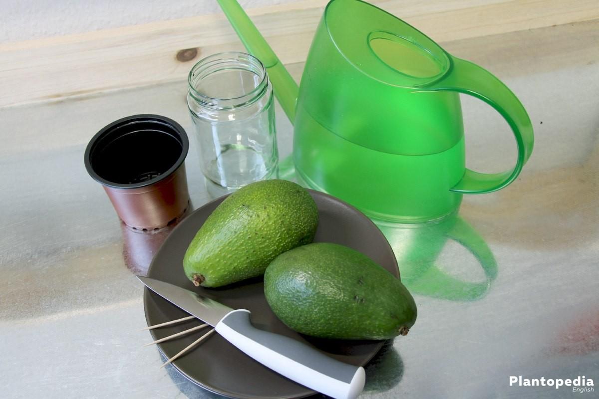 Avocado tree is an evergreen plant