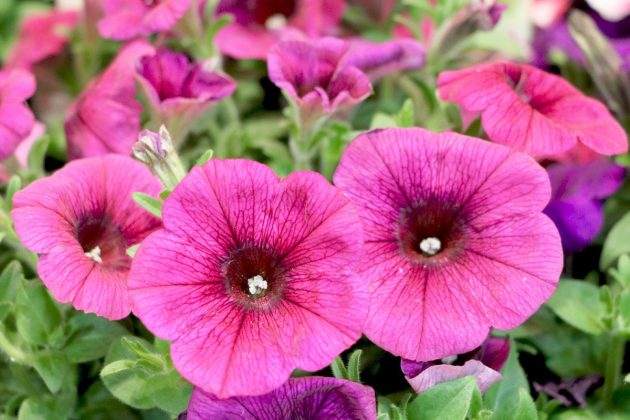 Trailing Petunias - do not pour in the midday sun