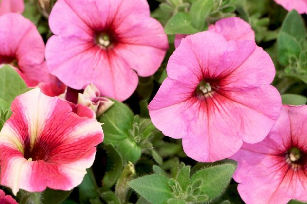 Petunias with pink colored blossoms