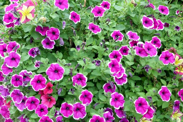 Petunias with two-colored blossoms