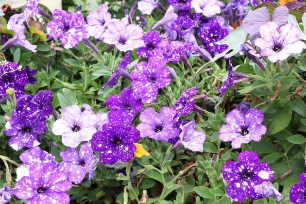 Petunias - avoid waterlogging