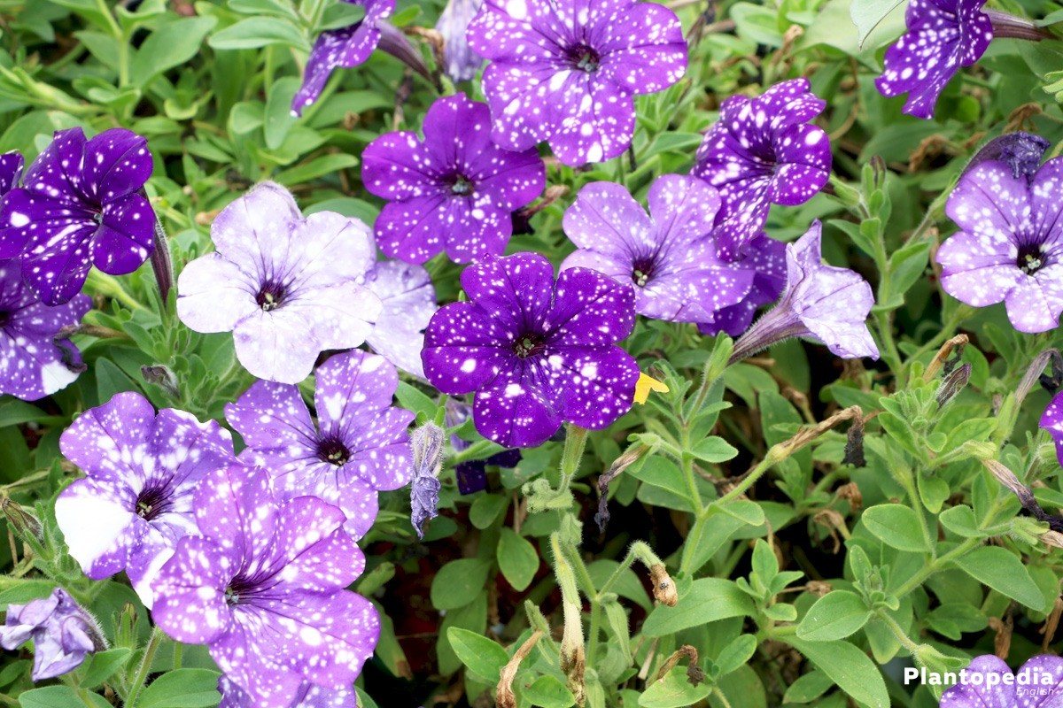 Trailing Petunias bloom from May to October