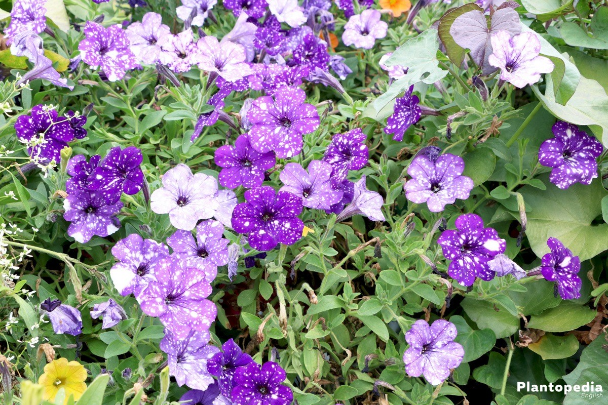 Trailing Petunias grow very proliferous