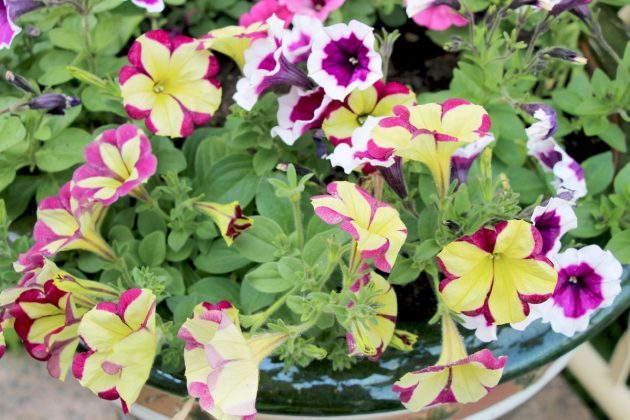 Petunias transform every balcony box into a lush flower sea