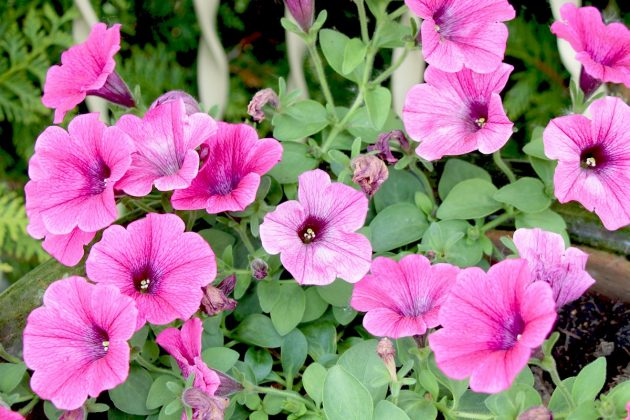 Petunias, Trailing Petunias in the garden patch