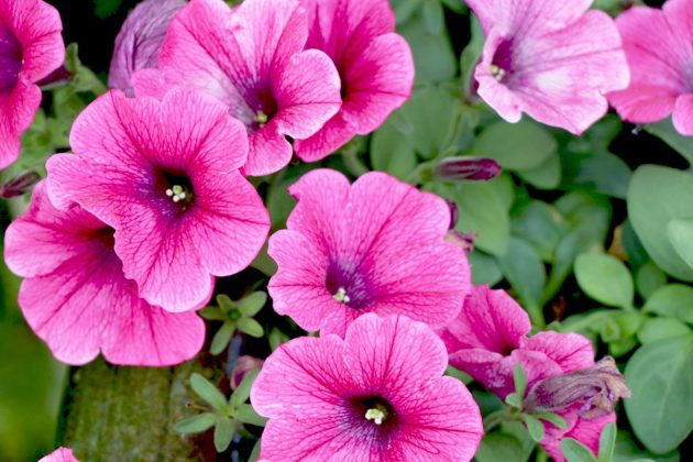 Petunias - their varieties differ in their flower color and size