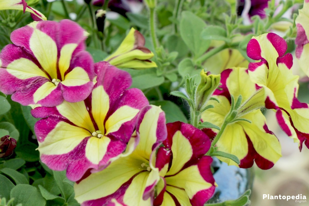 Petunias are popular plants for gardens