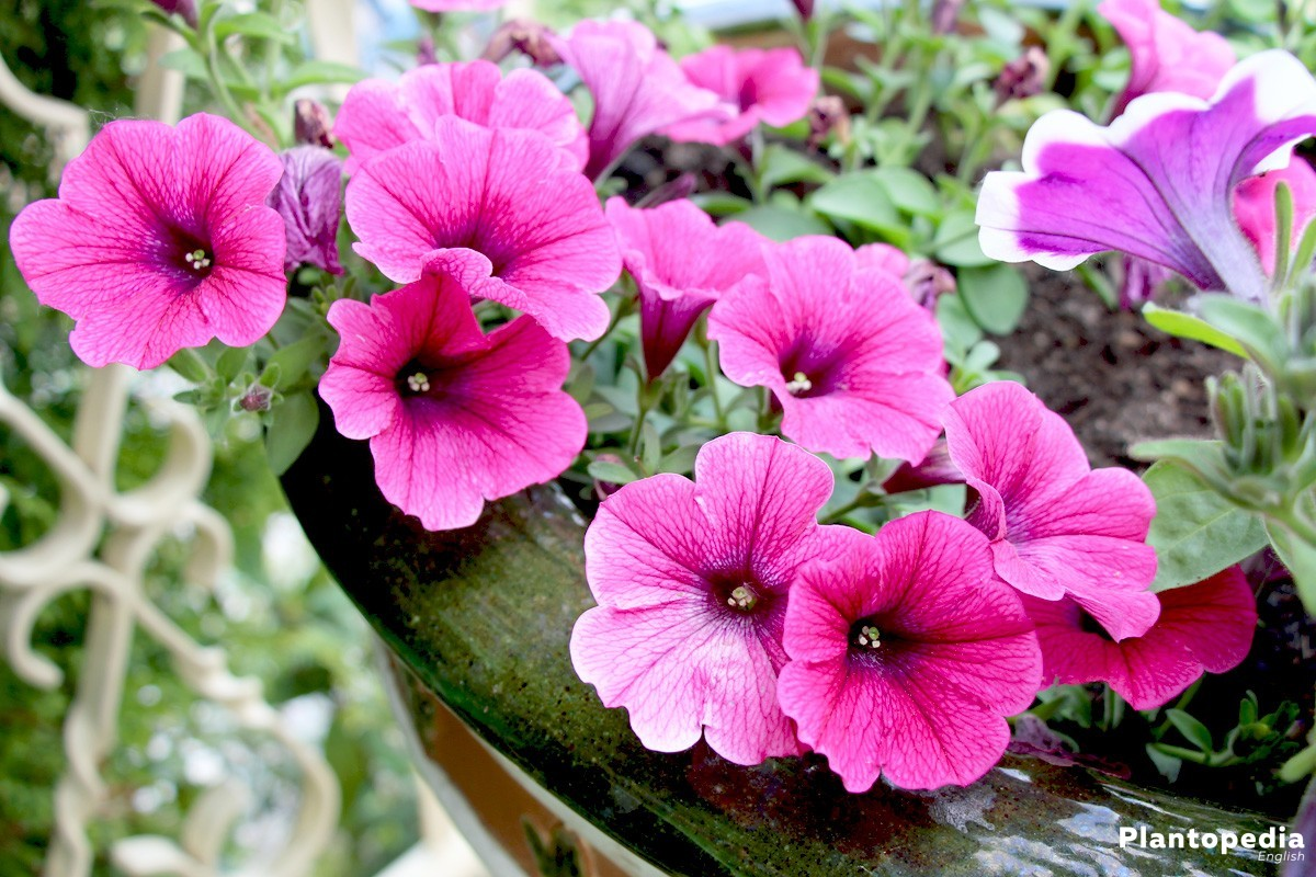 Petunia Flowers How To Plant Grow And Care From Seeds Plantopedia