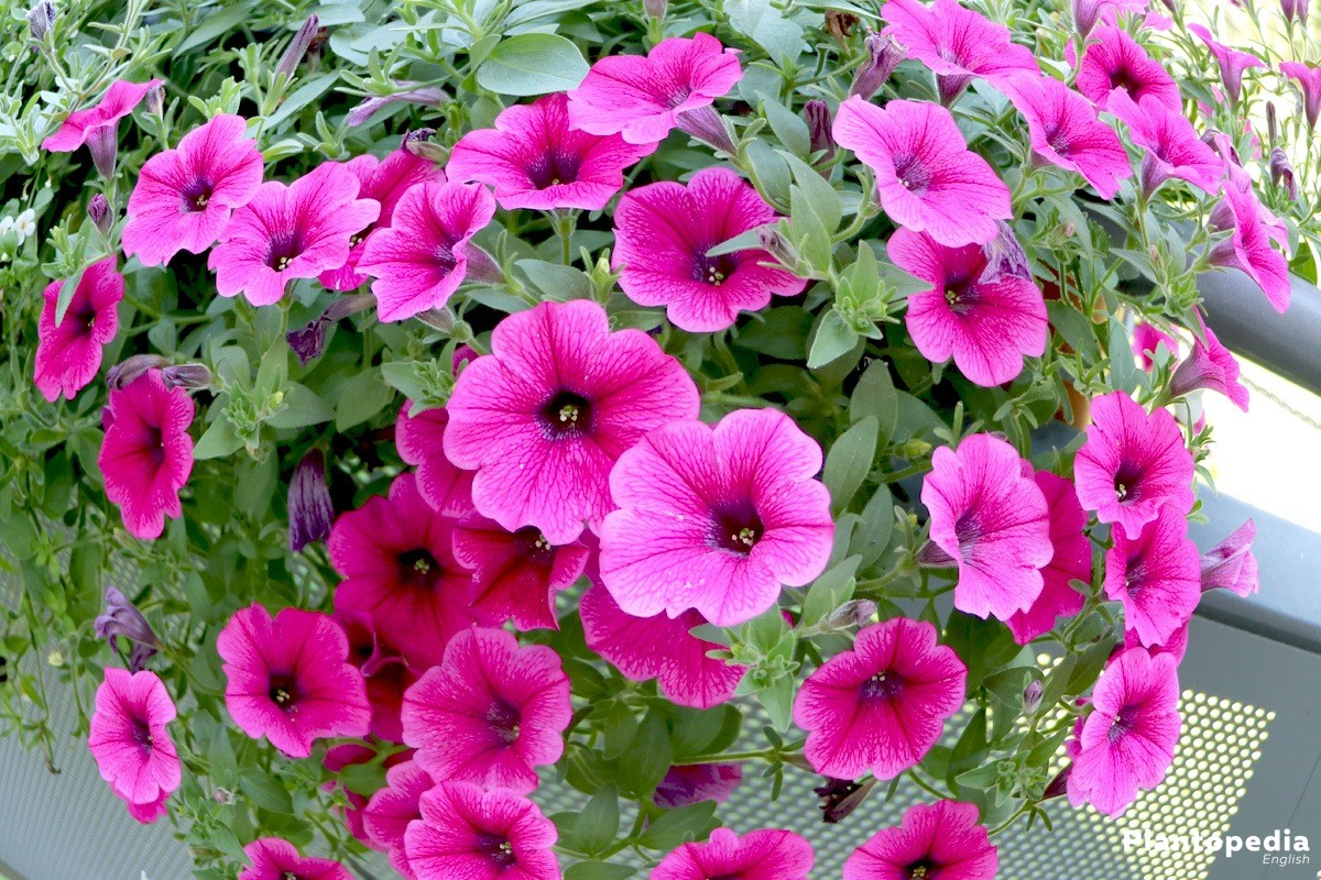 How to grow petunia from seeds - Petunias In The Garden