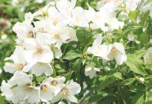 Philadelphus coronarius, Philadelphus, Philadelphus shrub