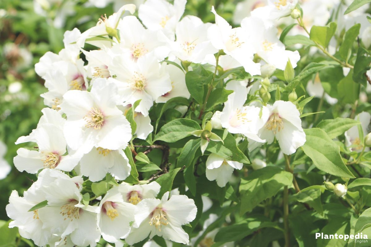Mock orange plant philadelphus shrubs grow care pruning mock orange plant philadelphus shrubs grow care pruning izmirmasajfo