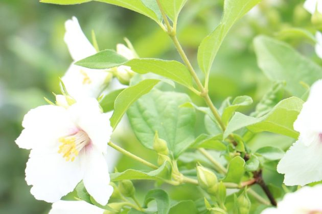 Philadelphus smells often very strong and pleasant in odor
