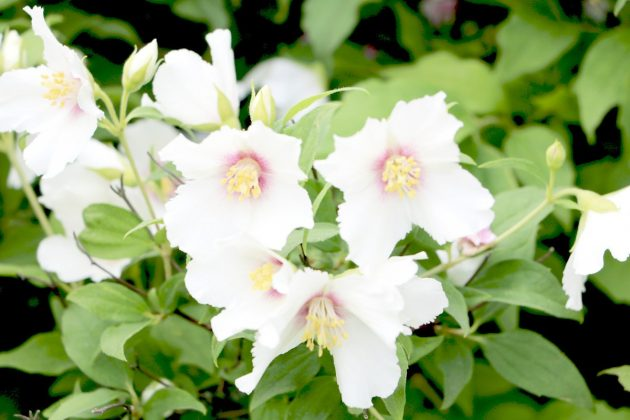 Philadelphus coronarius is easy to care