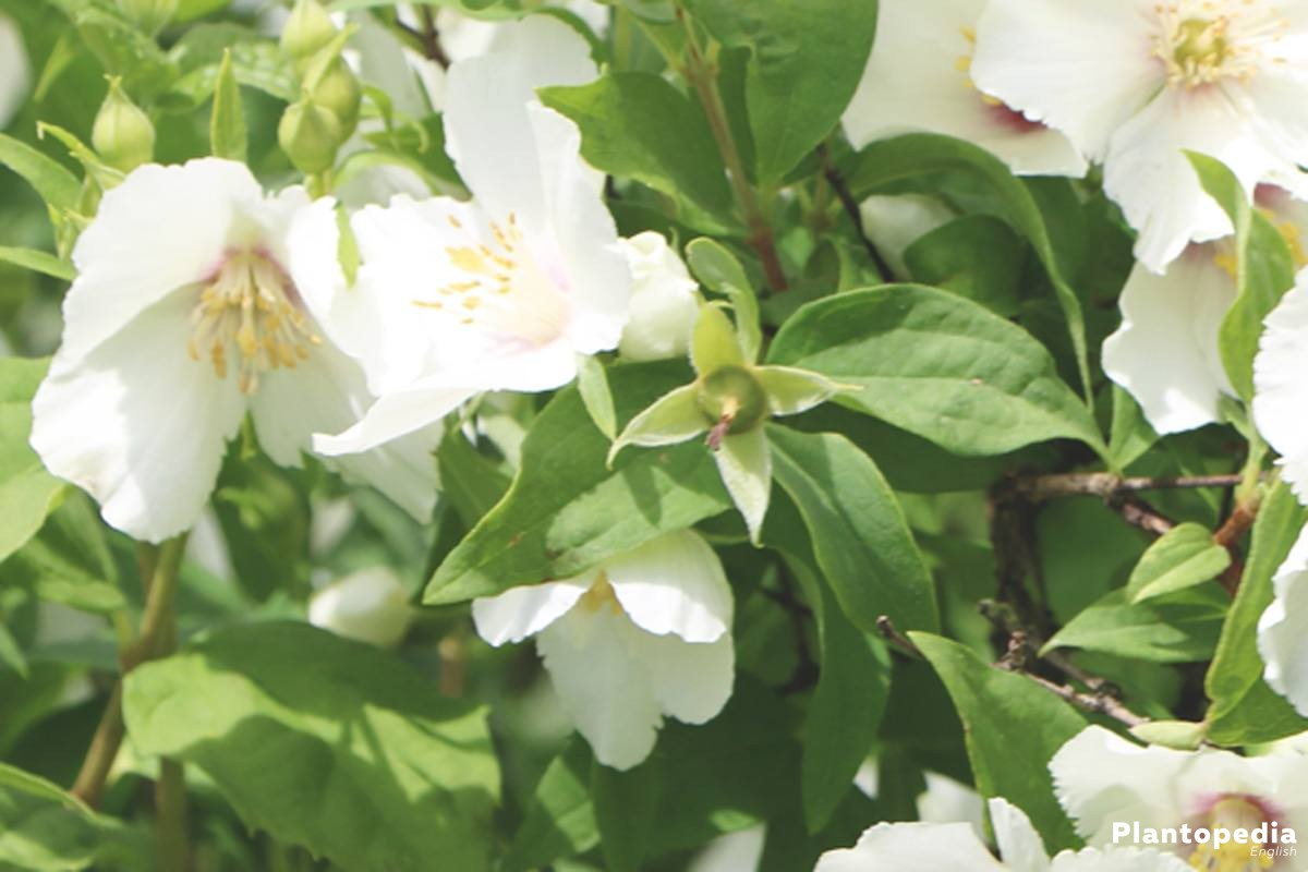 Philadelphus grows straight upwards and is slightly overhanging in the upper part