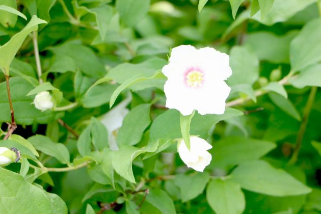 Philadelphus shrub with pure white flowers