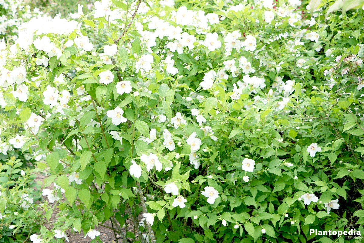 Philadelphus shrub with pure white blossoms