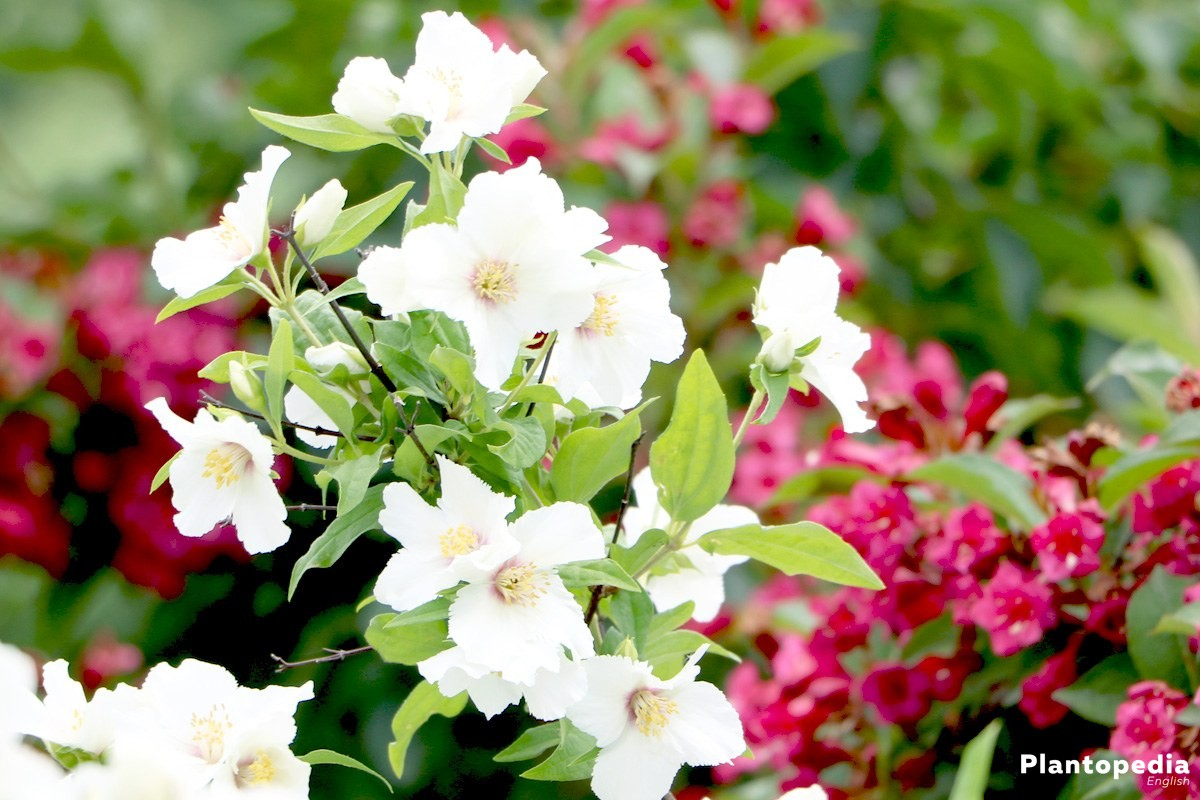 Philadelphus grows high up to four meters