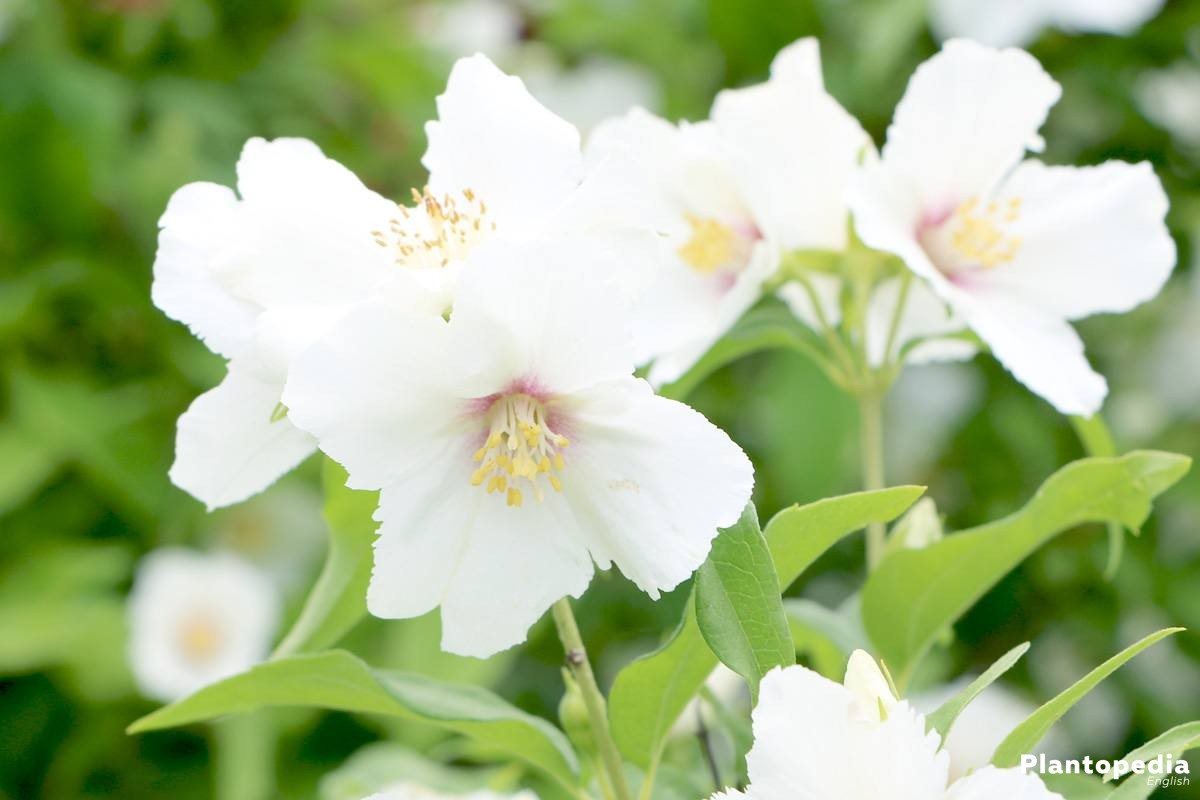 Philadelphus coronarius, Philadelphus is a ornamental shrub