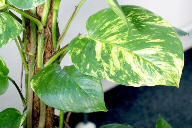 Philodendron absorbs moisture and release it as clean oxygen into the room