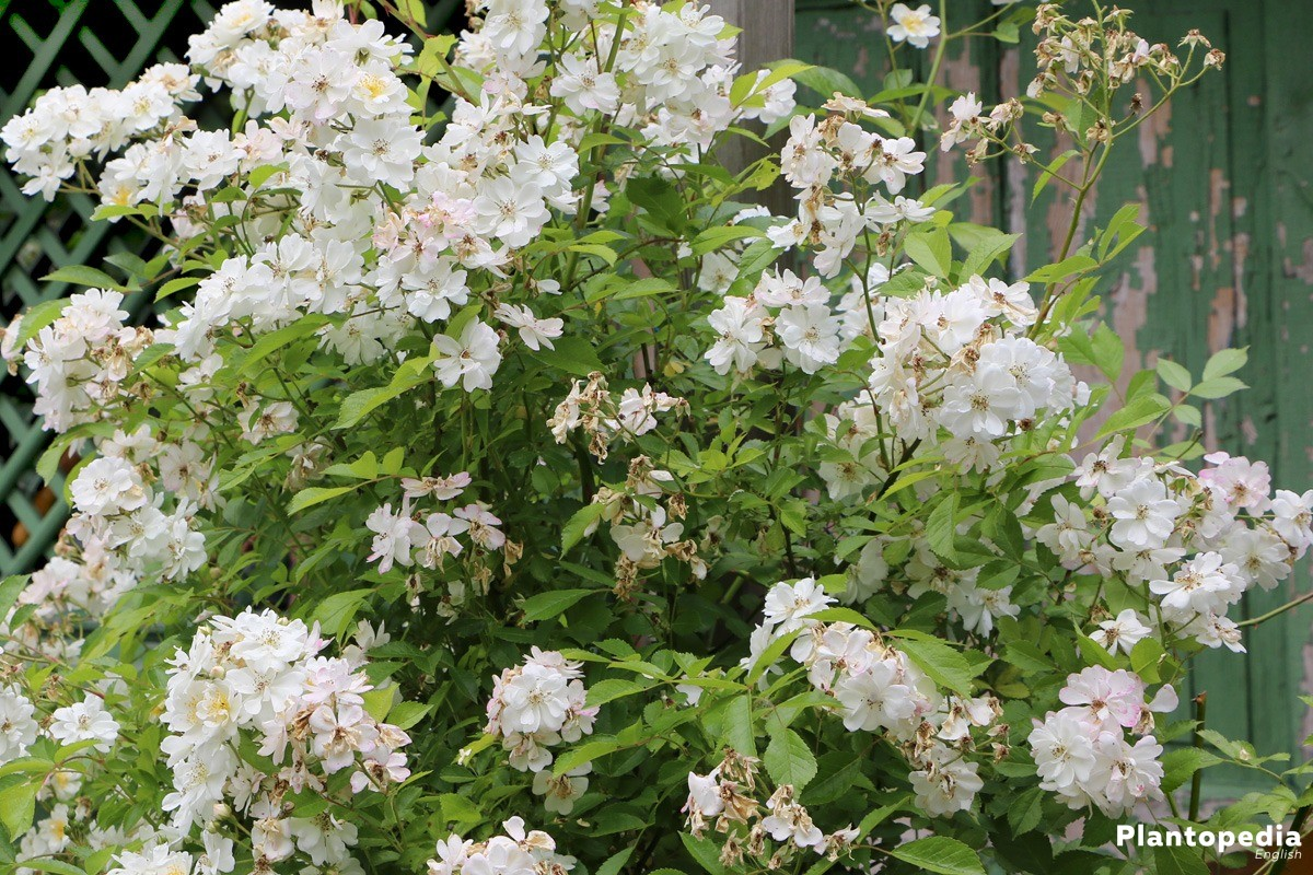 rose shrub in the garden patch