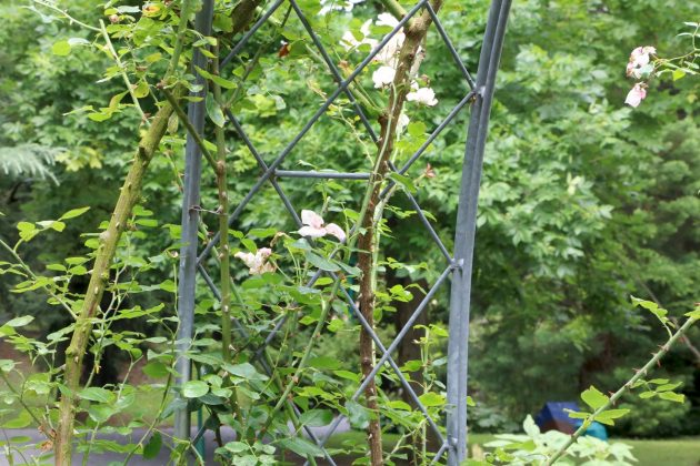 rose shrub grows high upwards on a climbing support