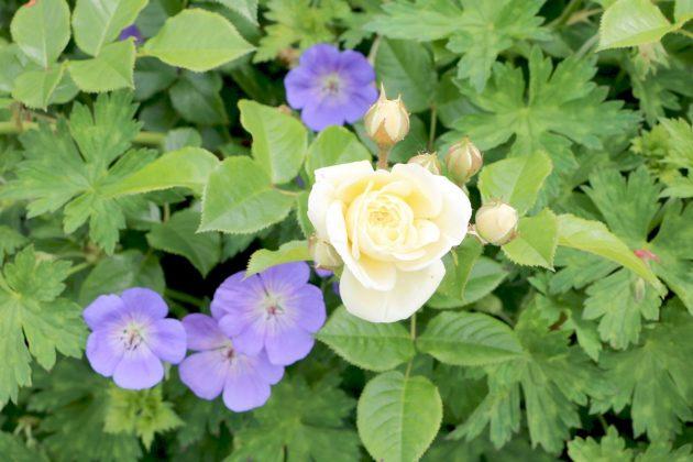 rose shrub in the garden with white flower