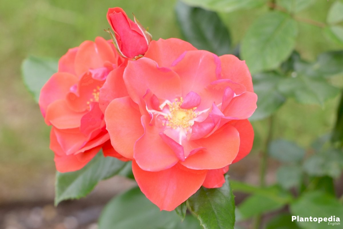 Rose shrub with red blossoms