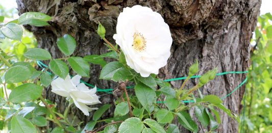Pruning roses, how and when
