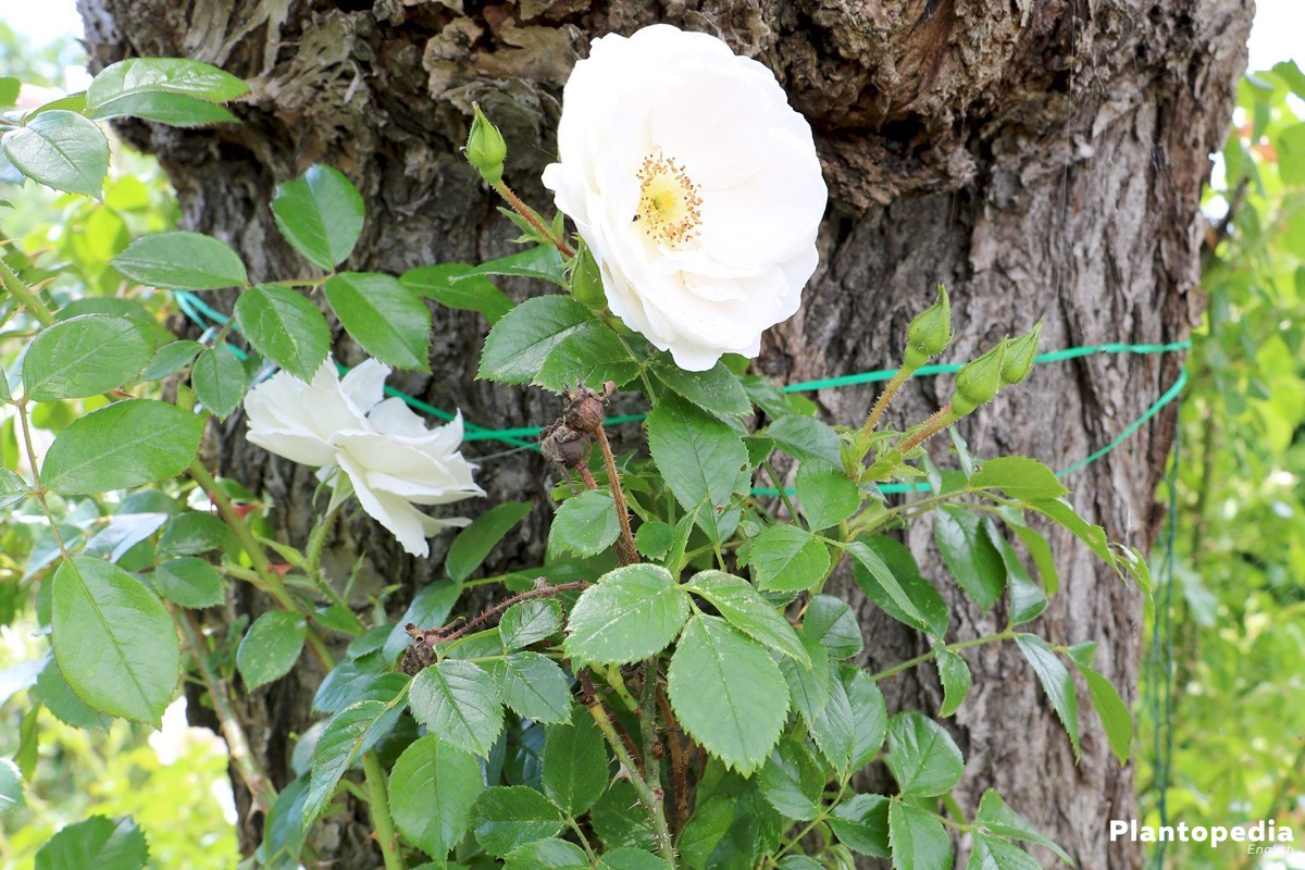 Pruning Roses How To Prune Roses When To Prune Roses Plantopedia