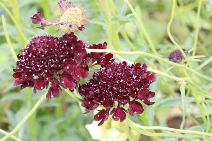 Scabiosa atropurpurea, Black Night