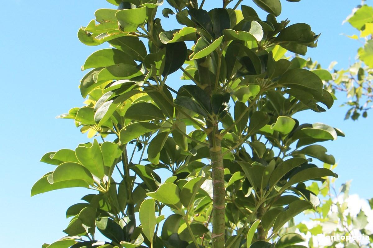 schefflera-arboricola-n11 Pruning A Schefflera Houseplant on pruning a corn plant, pruning a rubber tree plant, pruning a sago palm, pruning a staghorn fern, pruning a flowering maple, pruning a queen palm, pruning a ficus tree, pruning a jade plant,