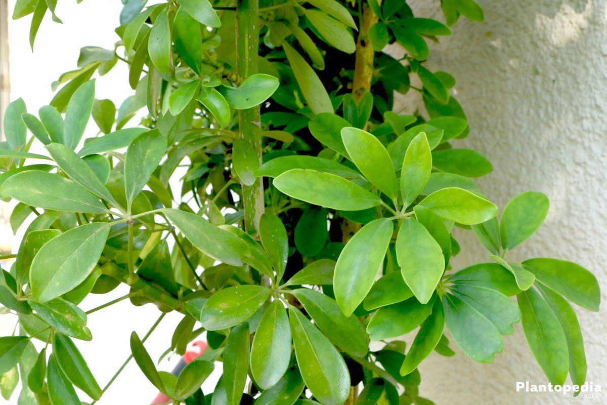 schefflera plant care houseplant tips for propagation
