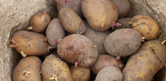 Solanum tuberosum, potato