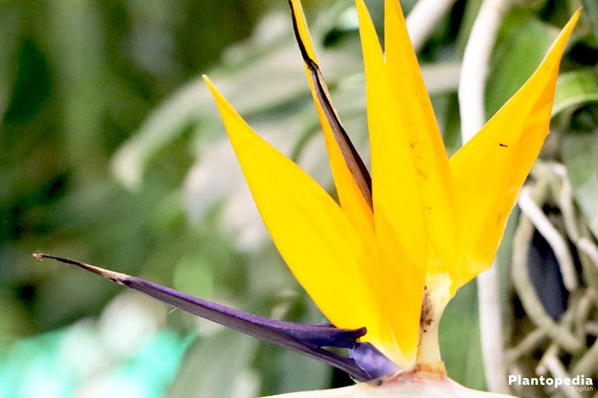 Strelitzia reginae with orange-yellow flowers and blue shining petals
