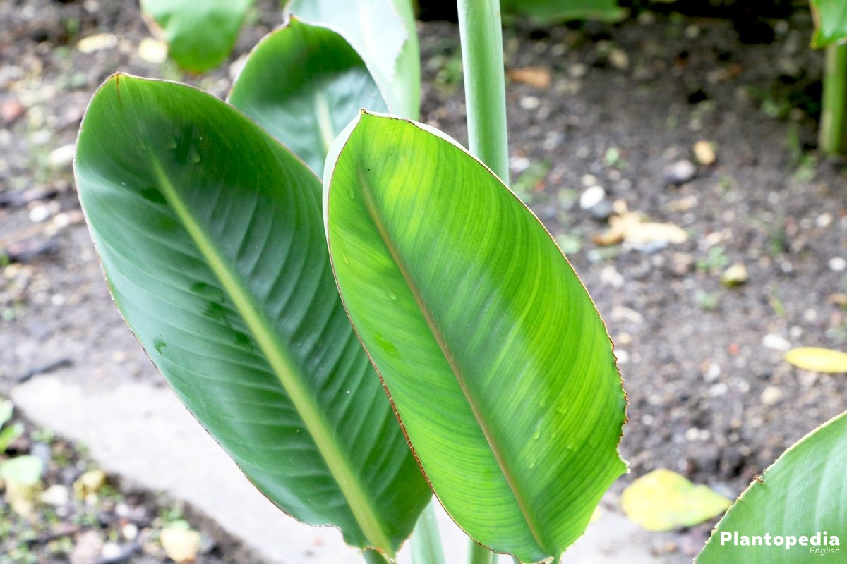 Strelitzia reginae, Bird of Paradise with large green leaves