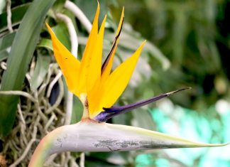 Strelitzia reginae, Bird of Paradise, Crane Flower