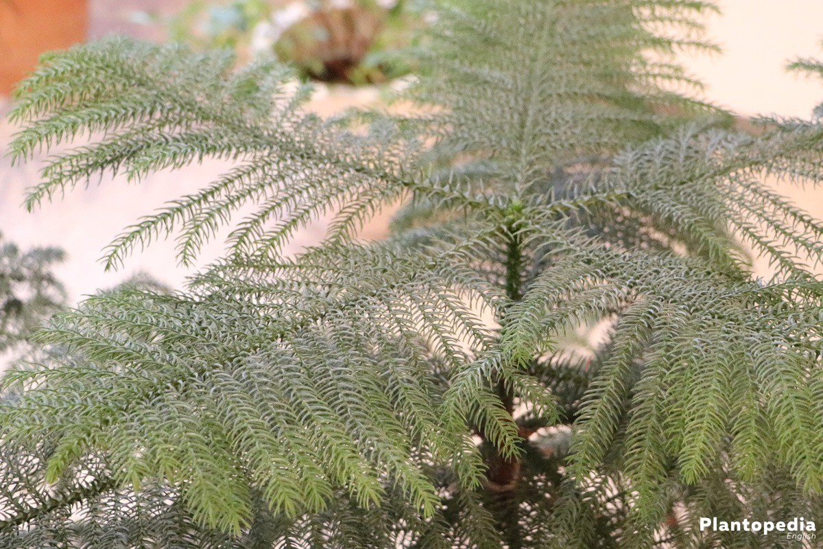 Araucaria heterophylla, Norfolk pine in the garden