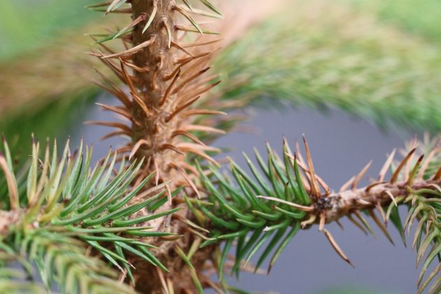 Araucaria heterophylla, Norfolk pine prefers moderate temperatures in summer
