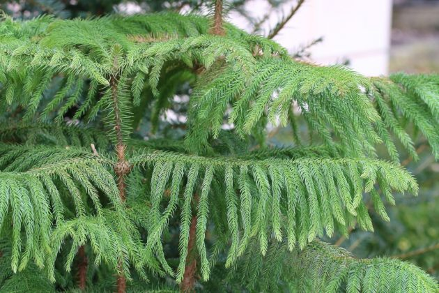 Araucaria heterophylla does not like waterlogging