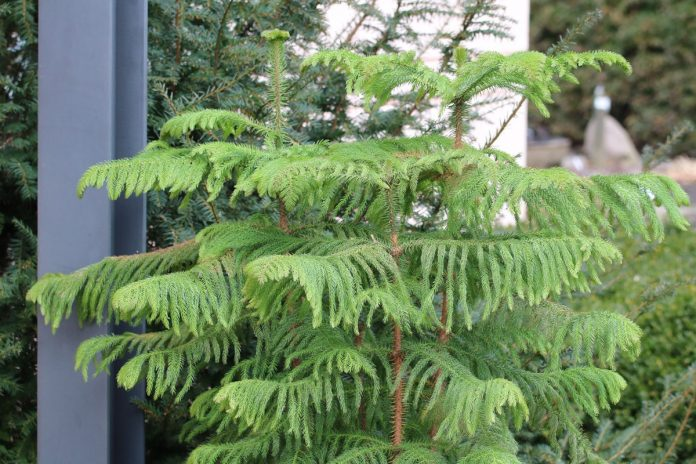 Araucaria heterophylla, Norfolk pine