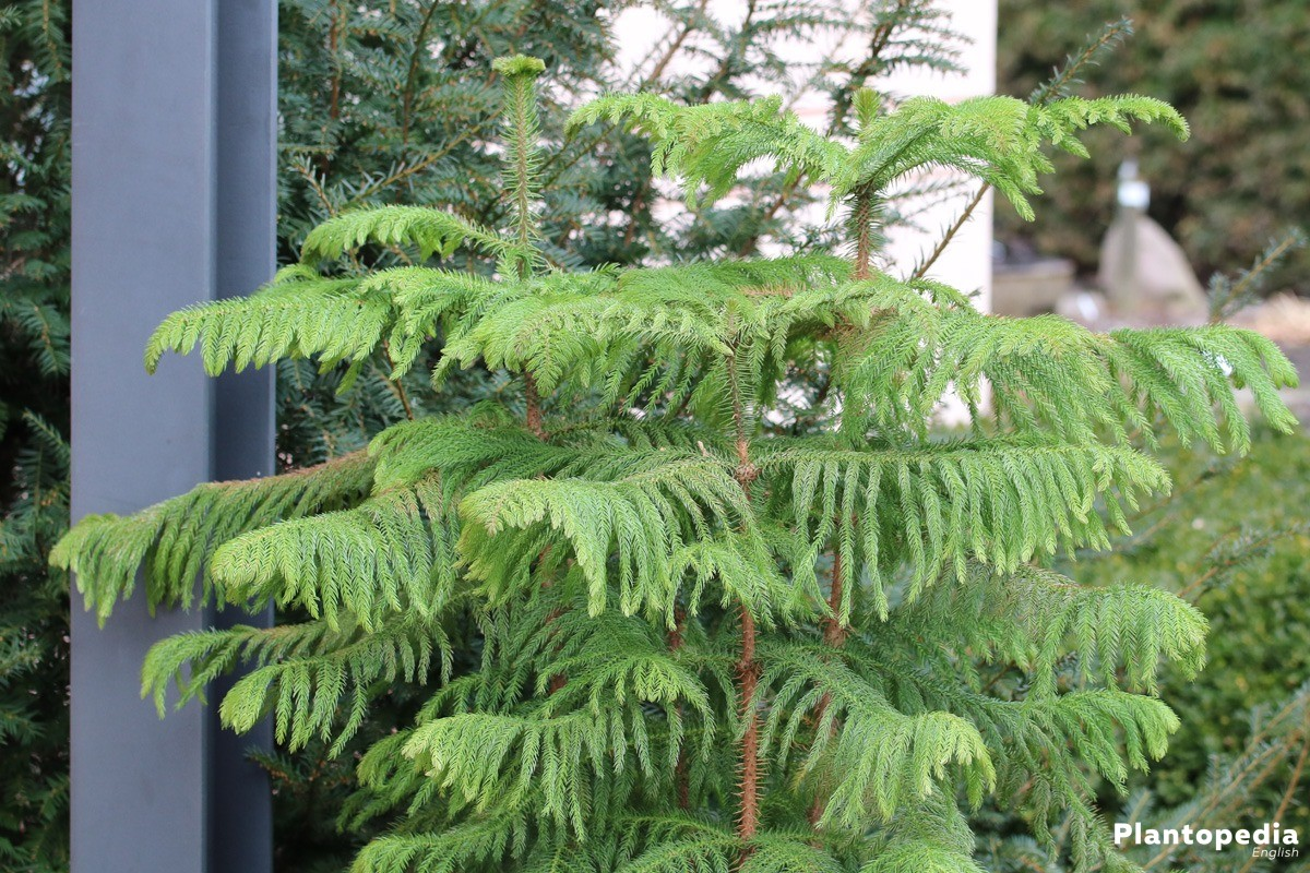 Norfolk Island Pine Plant Care - How to Grow Araucaria ... on easter lily plant care, tulip plant care, asparagus fern plant care, marble queen plant care, maidenhair fern plant care, dragon tree plant care, confederate rose plant care, flowers plant care, areca palm plant care, chinese evergreen plant care, mango plant care, morning glory plant care, weeping fig plant care, boston fern plant care, jasmine plant care, trumpet vine plant care, boxwood plant care, african violet plant care, creeping fig plant care, paradise palm plant care,