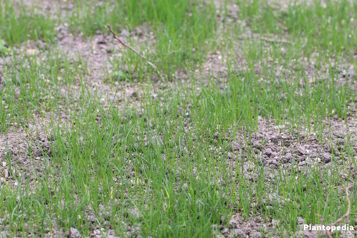 fresh lawn grows on soil