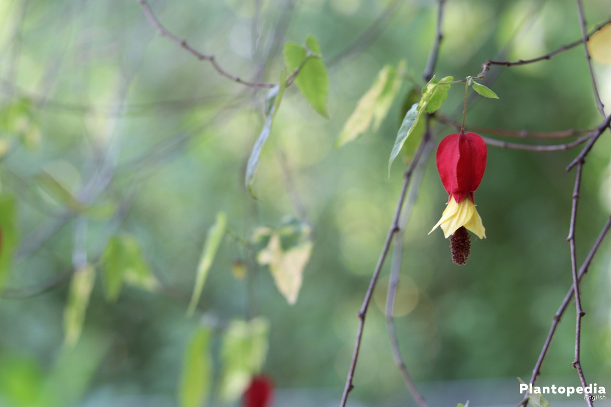 Abutilon is poisonous on skin contact