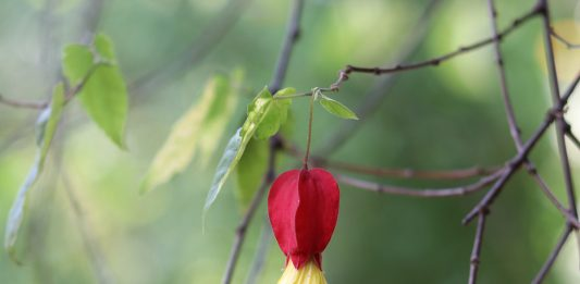 Abutilon in the garden patch