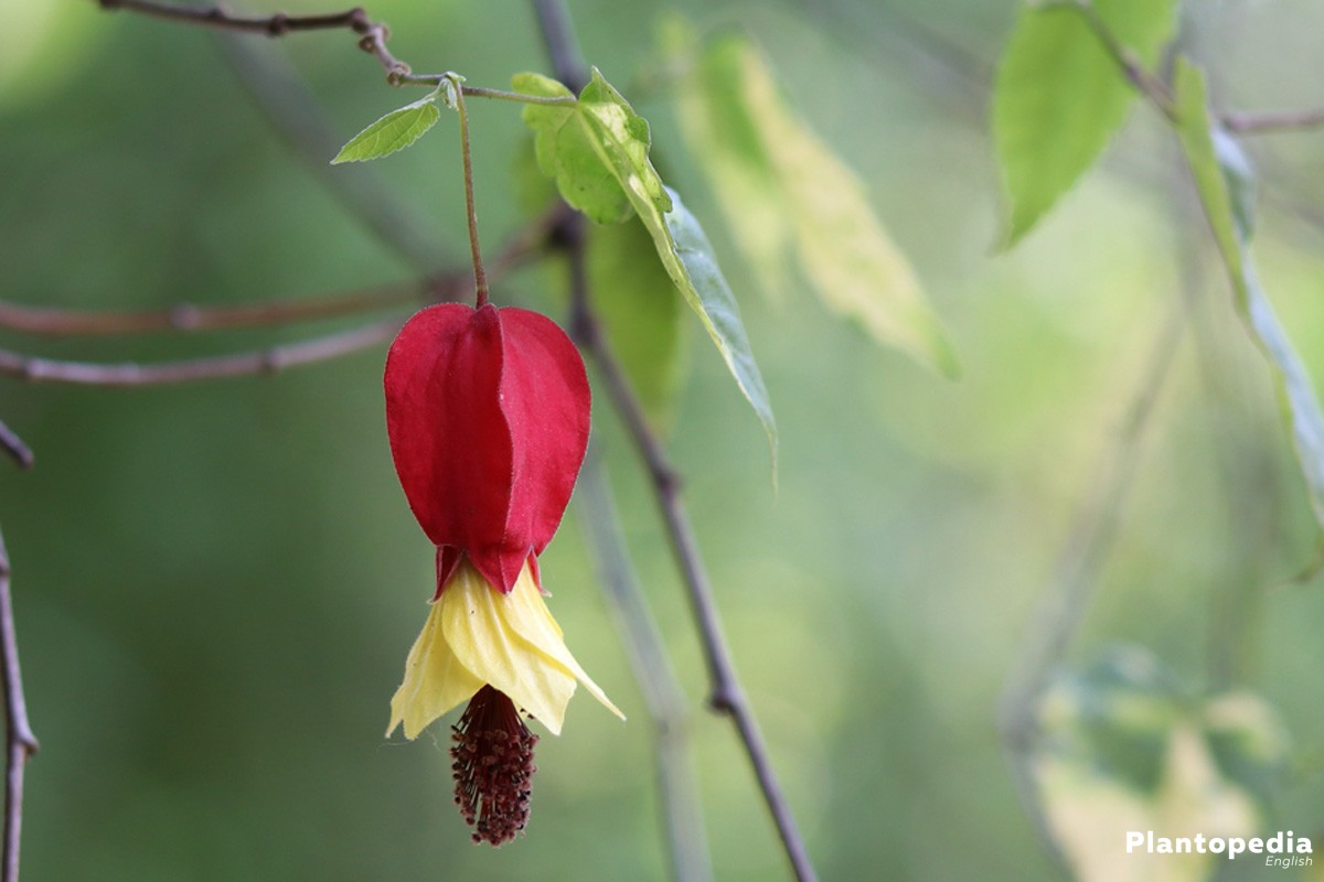 Abutilon with red-yellow flower bud