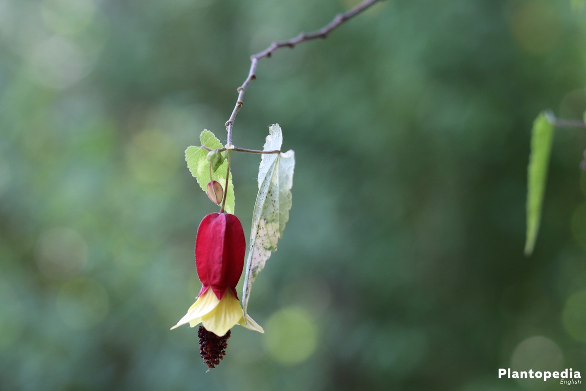 Abutilon with closed flower